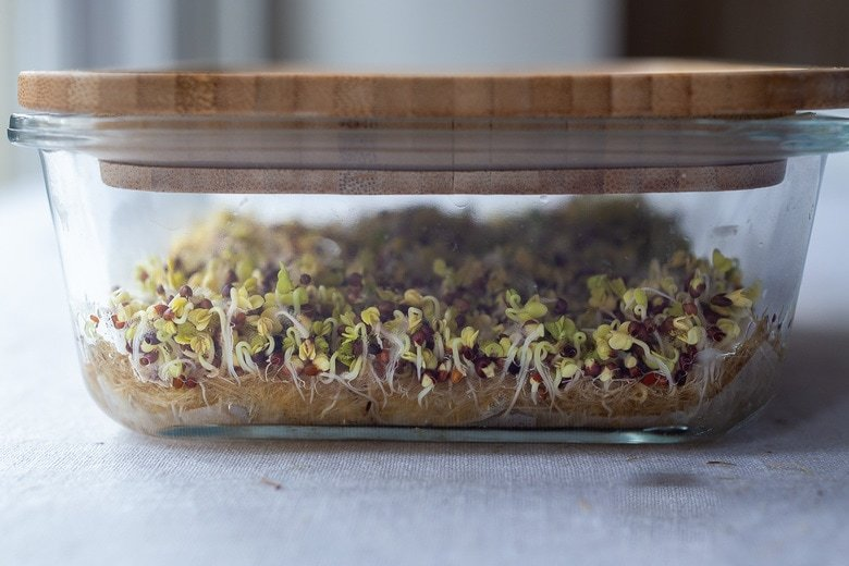 how to grow broccoli Microgreens -after 3-5 days the broccoli seeds begin to sprout.