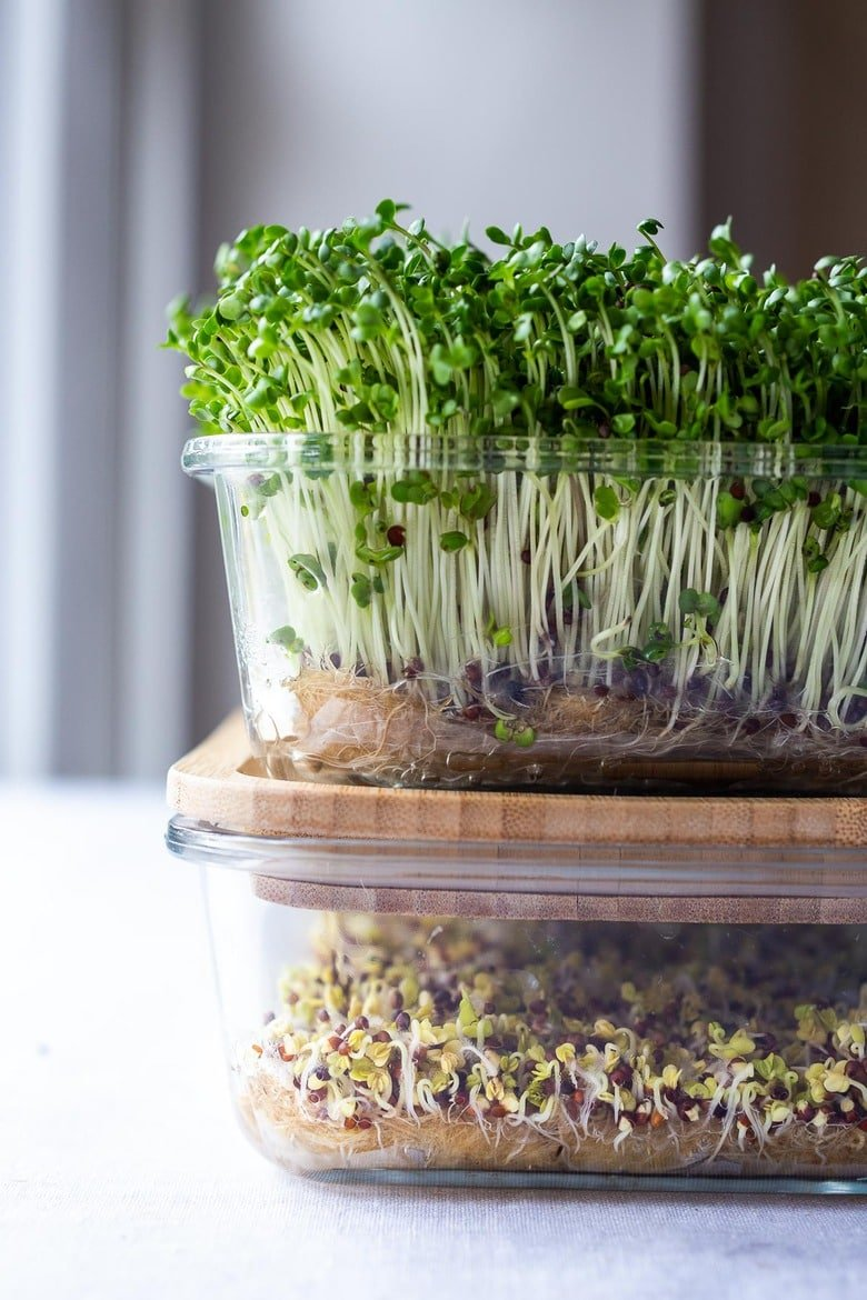 How to Grow Microgreens- an easy guide to growing your own healthy Microgreens indoors with no special equipment. Microgreens- especially broccoli seeds have tremendous health benefits! #microgreens