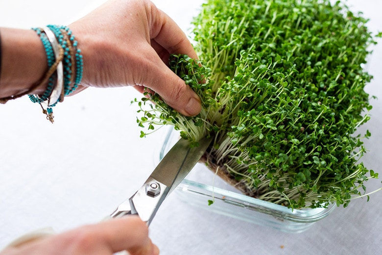 cutting microgreens